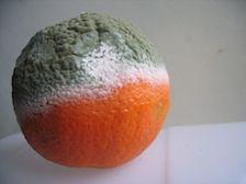 sinaasappeltje schimmel